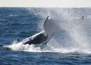 Whale Watching Sydney - Kempsey Accommodation