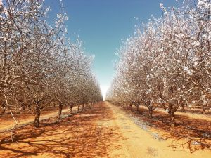 Mallee Almond Blossom Festival - Kempsey Accommodation