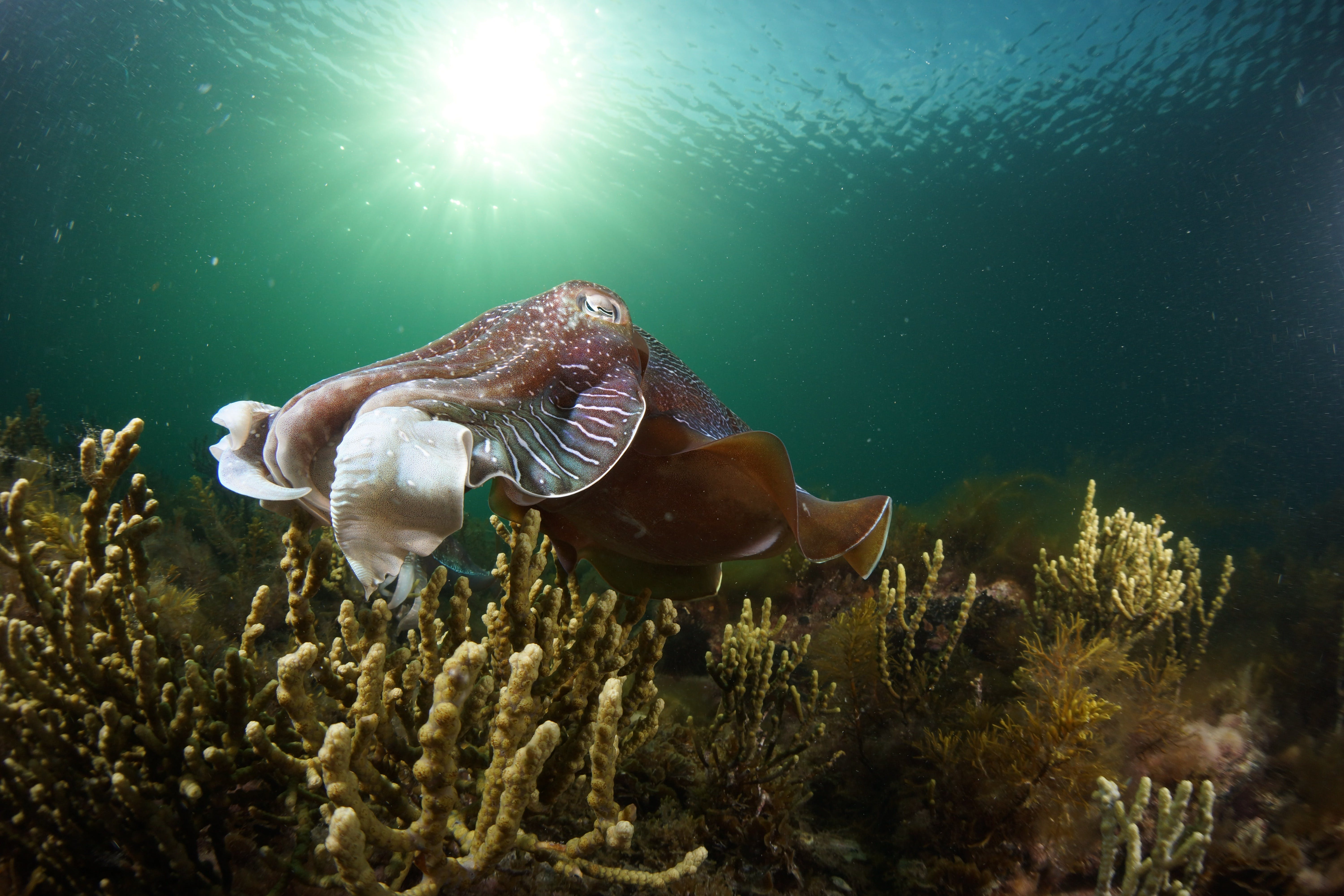 Cuttlefish Diving  Snorkeling EVERYDAY May -August - Kempsey Accommodation